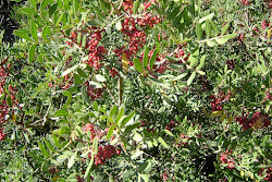 LENTISCHIO flora mediterranea