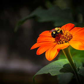 Mexican Wildflower by Satyam Muench - Flowers Single Flower ( mexican wildflower, orange flower, bee, single flower, gerbera daisy, wildflower, gerbera, flower )