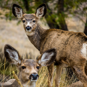 MULE DEER DOE AND FAWN by Denise Johnson - Animals Other ( buck, wildlife, doe, fawn, mule deer, deer,  )