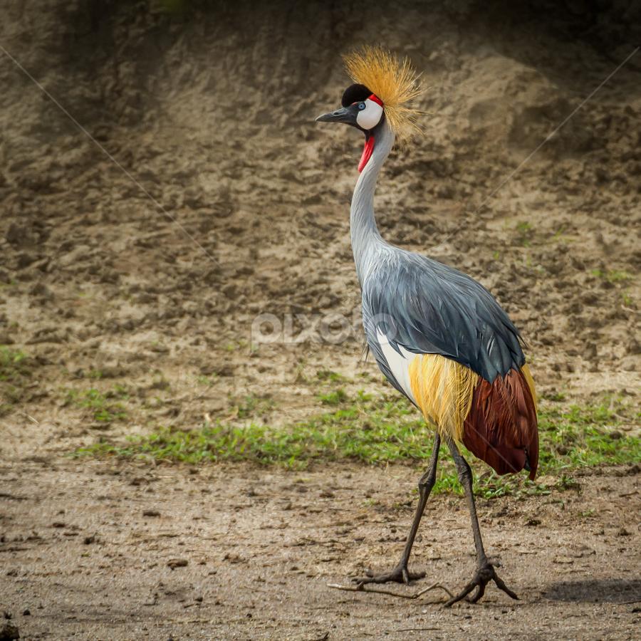 Grey Crowned Crane  by Wim Moons - Animals Birds ( oeganda, rwesirabo, western region, uga )