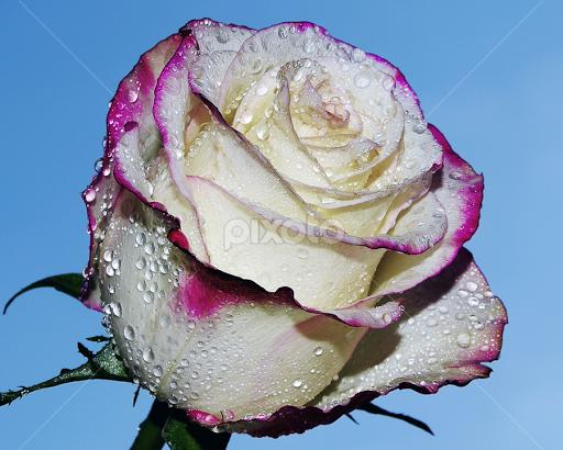 Beautiful Rose By LADOCKi Elvira