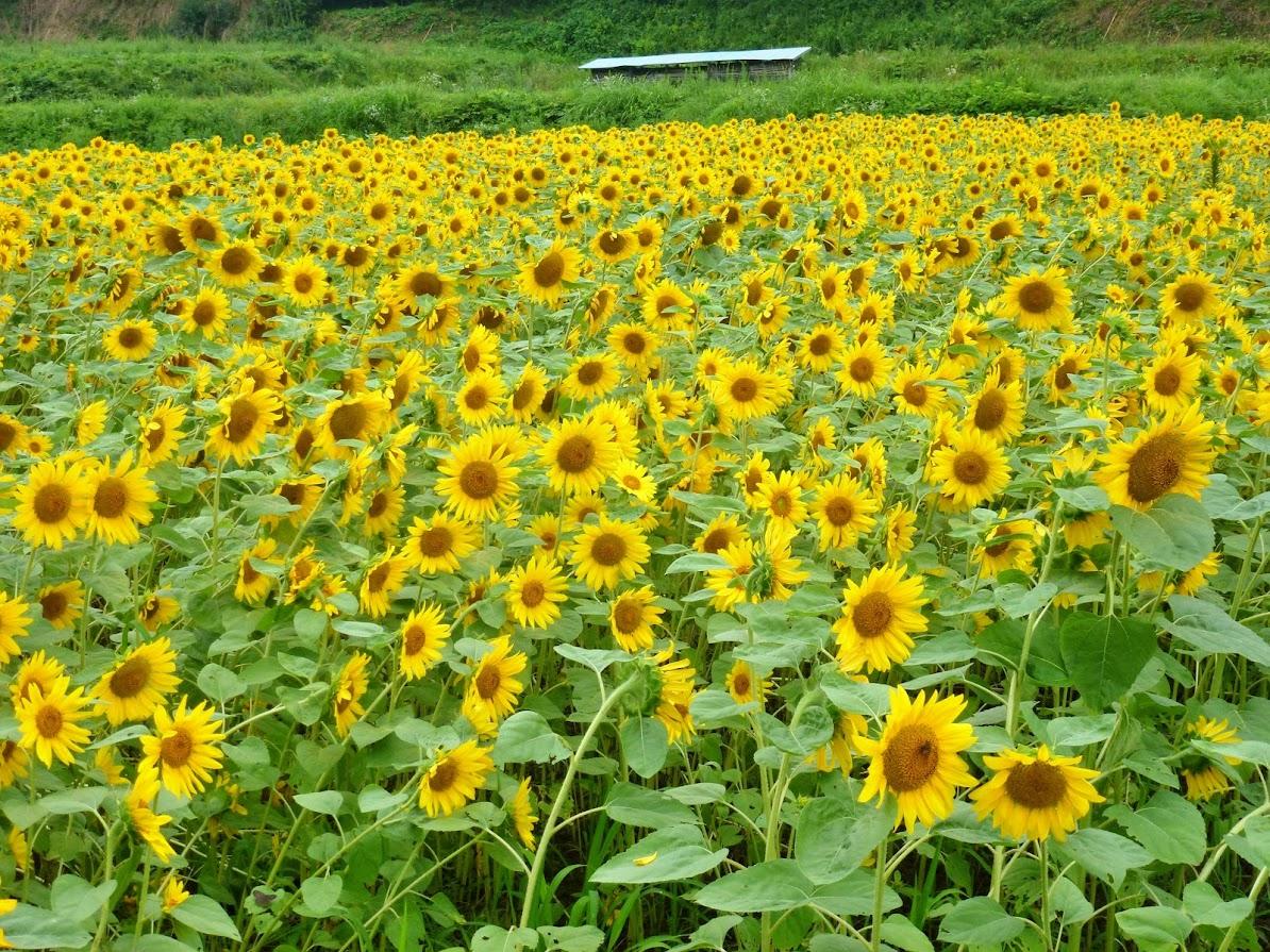 歌津中在のひまわり畑 写真3