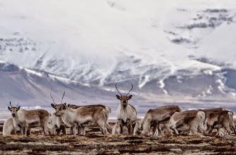 Photo: Renne a pochi chilometri dal fronte meridionale del ghiacciaio Vatnajökull. Foto scattata da Simone Renoldi durante uno dei viaggi in Islanda di 90° EST a caccia di Aurore Boreali. www.90est.it/islanda-aurora-boreale.html