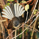 New Zealand Grey Fantail