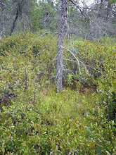 Photo: Jack Pine clearly in a wetland!