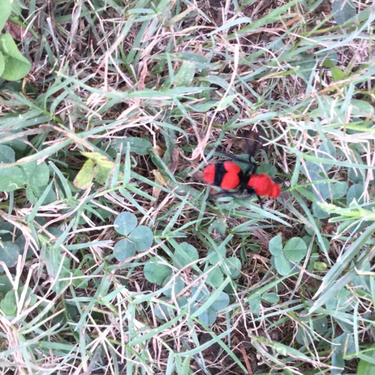 Cow Killer Wasp
