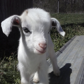 Flying Nun Goat by Norma Moore - Animals Other Mammals ( goat, kid )