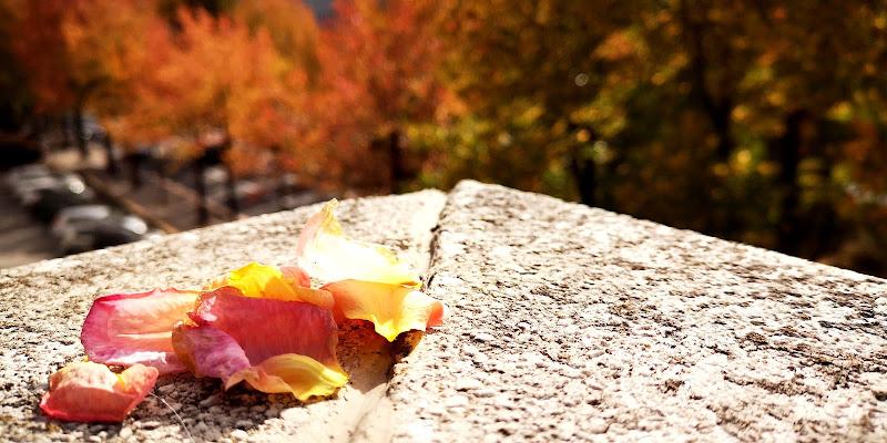 I petali della caduta di francesca_sala