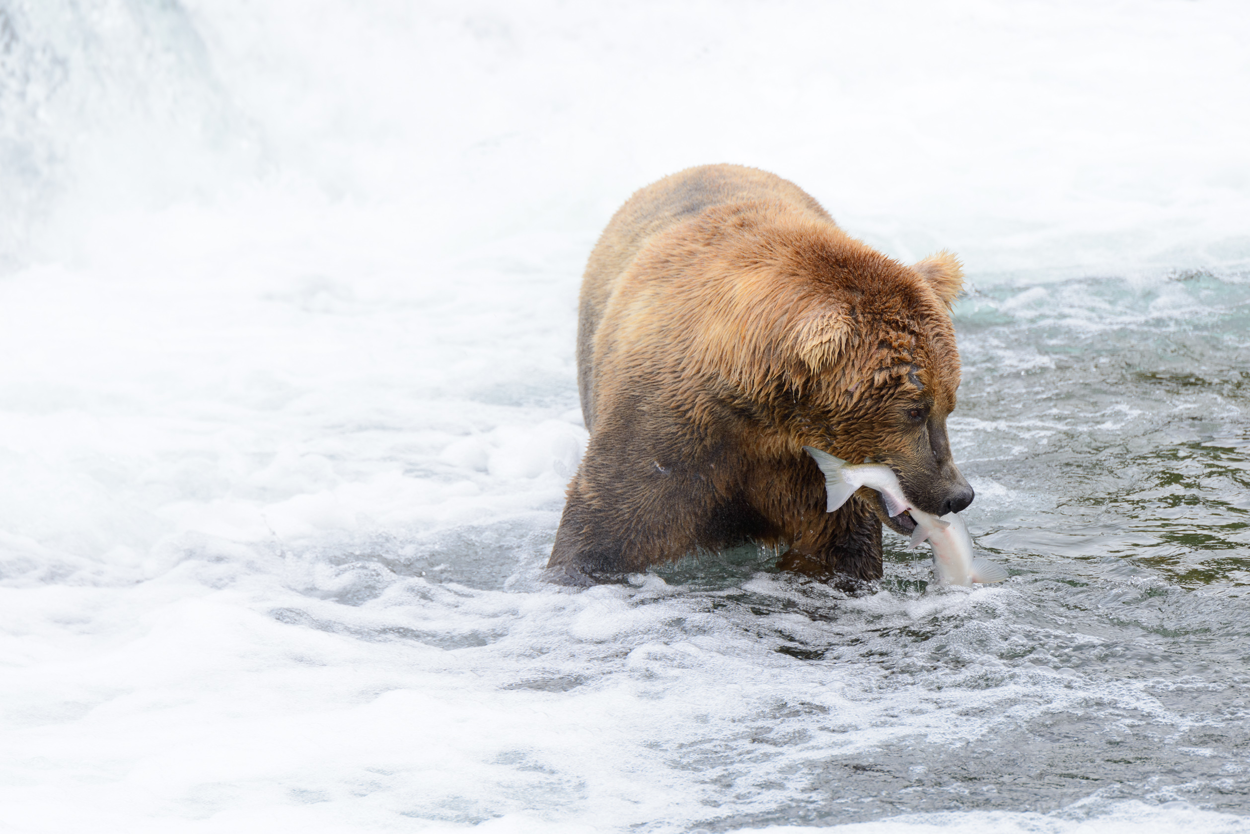 Katmai Bear Viewing, for the New York Times