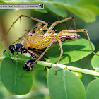 Lynx spider, Spiny Mason Wasp, Chamber bitter