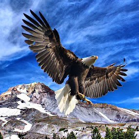 Eagle and Mt Hood by Gaylord Mink - Animals Birds ( eagle, fly, bald, mt hood,  )