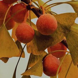 Ginko berries by Rita Goebert - Nature Up Close Trees & Bushes ( nature close up; ginko leaves; ginko berries; ornamental trees,  )