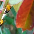 Large Rose Sawfly