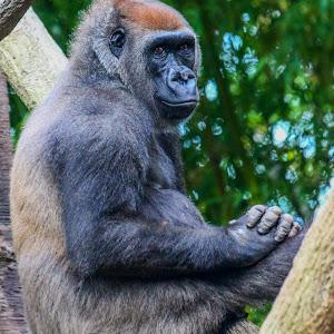 Gorilla in Tree.jpg