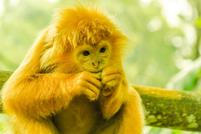 Singapore Zoo monkey1
