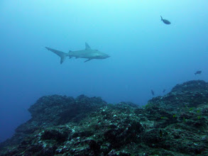 Photo: #016-Requin des Galapagos. Cocos 2010