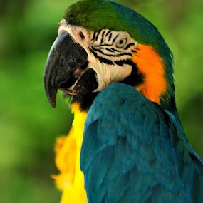 kakatua by Ahmad Yahya - Animals Birds ( warna, kakatua )