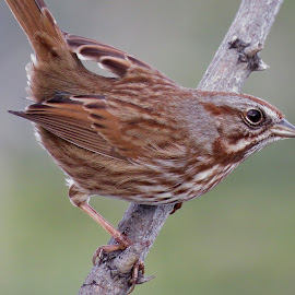 Song Sparrow  by Nick Swan - Animals Birds ( nature, bird, song sparrow, wildlife )