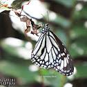 White Tiger ♂