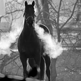 Horse in morning mist by Jeff Sluder - Black & White Animals
