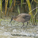 Ridgway's Rail (adult and young)