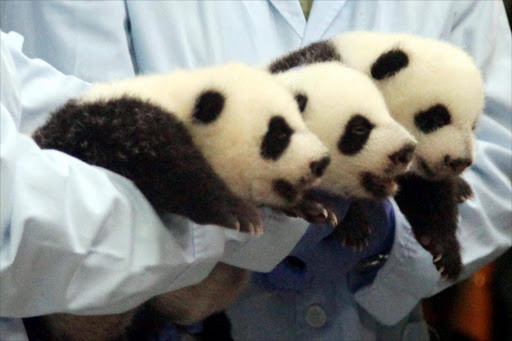 Panda triplets open their eyes at Chimelong Safari Park. Picture Credit: Getty Images