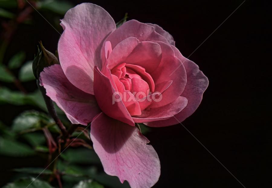 autumn rose by Ghislain Vancampenhoudt - Nature Up Close Flowers - 2011-2013 ( autumn, pink, garden, sun, last bloom )