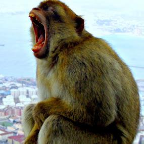 Monkey Yawn by Jacob Uriel - Animals Other Mammals ( gibraltar, barabary ape, spain, monkey )
