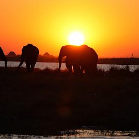 Orange and black  by Sandra Mcgowan - Animals Other Mammals ( africa, chobe river, elephants, botswana, landscape,  )
