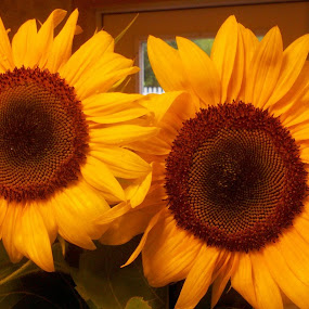 My Sunflowers!  by Catherine Dulaney ( Johns)  - Nature Up Close Flowers - 2011-2013