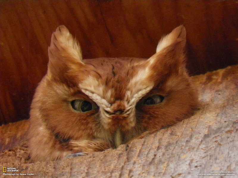 Photo: A screech owl came for a visit in the spring of 2011 and stayed in the owl house in the yard for a few days. Photo and caption by Renee Hopfer