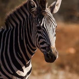 Zebra by David Botha - Animals Other Mammals ( zebra, color, mammal, wild, wildlife )