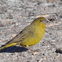 Greenish Yellow Finch