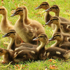 Paying attention to mum  by Frank Gray - Uncategorized All Uncategorized ( spring, ducklings, nature up close, babies )
