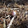 Gecko egg