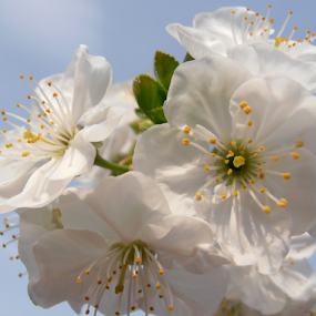 Cherry blossoms by Snezana Petrovic - Flowers Tree Blossoms ( stamens, colorful, petals, white, spring, blossoms, soft, pure, macro, nature, snezana petrovic, horizontal, outdoor, trees, flowers, charry, garden )