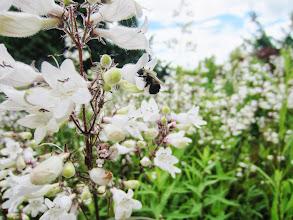 Photo: A bee in little pretty white flowers at Wegerzyn Metropark in Dayton, Ohio.