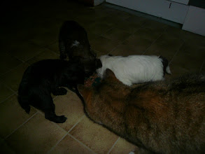 Photo: Puppies 5weeks, Elvis The Cat watching them to eat.