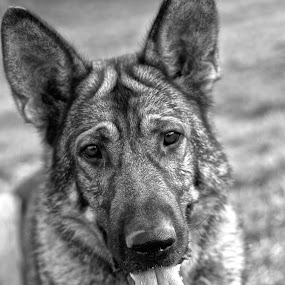 by Michael Miller - Animals - Dogs Portraits ( training, shepherd, sniffer, police, search, german, rescue, dog, working )