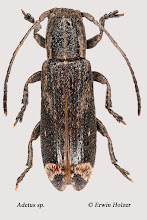 Photo: Adetus sp., 7 mm, Costa Rica, Esquinas Rainforest (08°42´/-83°12´), leg. Erwin Holzer, det. Herbert Schmid
