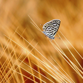 Butterfly On natural mesh by Nelson Thekkel - Animals Insects & Spiders (  )