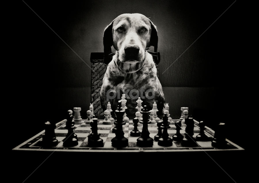 Gamer by Dietmar Pohlmann - Animals - Dogs Playing ( playful, black and white, chess game, board game, animalia, chess, play, black and white collection, game, portrait, natural background, canine, playing, sit, adorable dogs, curious, sitting, pet, mamal, zoology, companion dog, dog, artificial light, animal )
