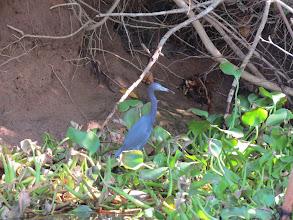 Photo: Little Blue Heron
