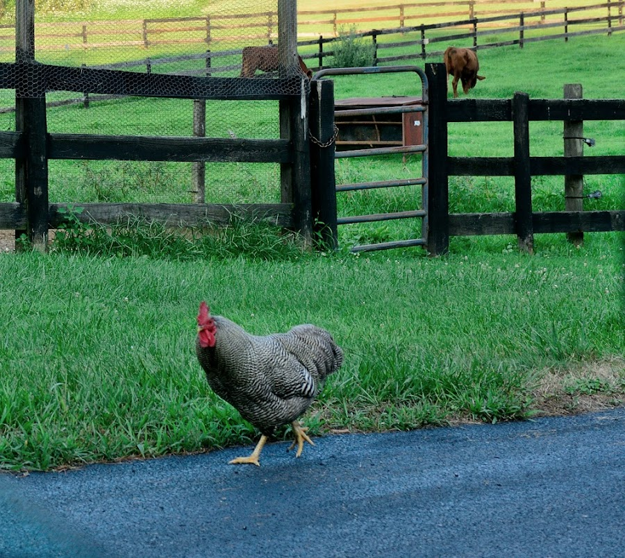 Cows?  Pfft! by Ann Carper - Animals Birds ( rooster; farm; rural; sparks; maryland )