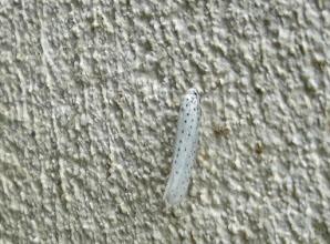Photo: Yponomeuta evonymella    PGE  Lepidoptera > Yponomeutidae