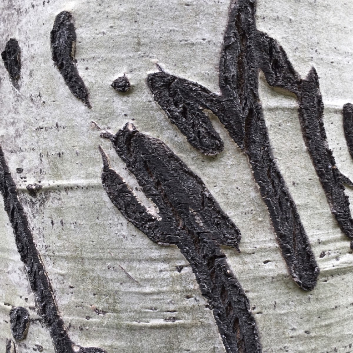 Quaking aspen (with bear claw marks)