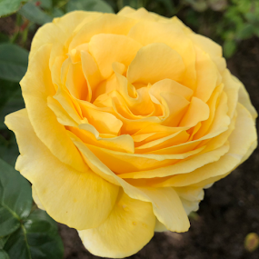 Sunny Days by ADW Photography - Flowers Single Flower ( #flowers #botanical #rose #yellow #delicate #scent )