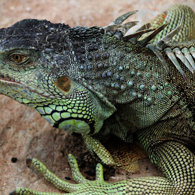 Iguana by Elha Susanto - Animals Reptiles