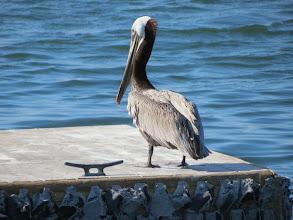 Photo: Pelican, MIssion Bay