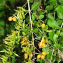 Golden dew drops